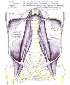 Le psoas: un muscle de grande importance!
