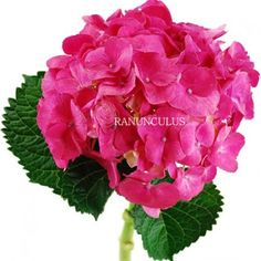 You can't miss the striking natural beauty of the Pink hydrangea! With a large flower head of inches across, hydrangea is composed of a multitude of flat, papery flowers. Use these pink beauties in centerpieces, arrangements and bouquets. Hydrangea Flower, Hydrangeas, Ranunculus, Large Flowers, Best Part Of Me, All The Colors, Beautiful Flowers, Wedding Flowers, Centerpieces