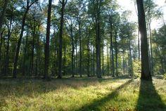 Forêt d'Halatte-Senlis 2006   Venez découvrir les forêts de l'Oise !   © Oise Tourisme / Philippe LOBGEOIS Oise, Philippe, Plants, Tourism, Plant, Planets