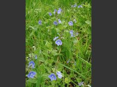 Germander Speedwell (Veronica chamaedrys) - this also may be white Purple Flowers, Veronica, Planting Flowers, Birds, Plants, Image, Bird, Planters, Plant