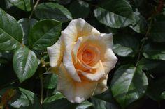 Uusi tuttavuus, Comtessa – ruusu | Vesan viherpiperryskuvat – puutarha kukkii
