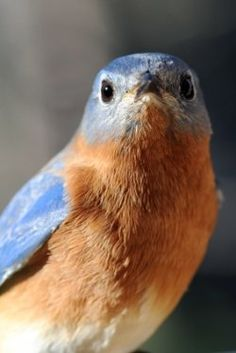 How to attract Eastern Bluebirds