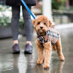 """Milo, Cavapoo (8 m/o), 20th & Irving Pl., New York, NY • """"We just came back from the vet – I thought he had worms. It turned out he ate rubber bands, hair ties, wood chips, and plastic. He just snatches things. I have to get a trainer, I guess."""""""