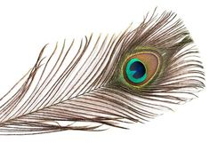 Your place to buy and sell all things handmade Black Feathers, Peacock Feathers, Gold Tips, Eyes, Color, Miami Florida, Design, Ships, Costumes