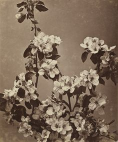 Adolphe Braun. Apple Blossom. 1850