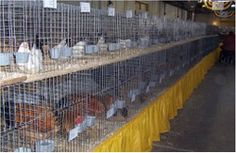 Showing Poultry Website