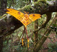 A comet moth(Argema mittrei)dryingits wings, Andasibe-Mantadia National Park, Madagascar - byNick Garbutt (via)