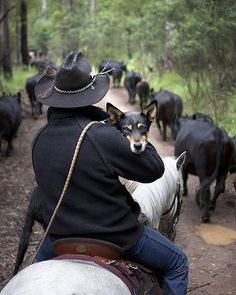 Lachlan Culican carries his dog Itsy on horseback to give her a break from being charged by the over protective cows as he assists the McCormacks with their yearly muster of cattle into the Mansfield State Forest. Photo by Melanie Faith Dove Country Girls, Country Life, Country Farm, Country Living, Farm Dogs, Real Cowboys, Herding Dogs, Ranch Life, Cowboy And Cowgirl
