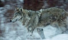 loup a yellowstone jeremy mathieu