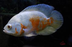 oscar-fish-original