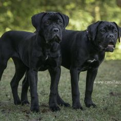 Discover The Dignified Mastiff Dogs Personality Cane Corso Italian Mastiff, Cane Corso Italiano, Cane Corso Mastiff, Cane Corso Dog, Mastiff Breeds, Mastiff Dogs, Italian Cane Corso, Cane Corso Kennel, Big Puppies