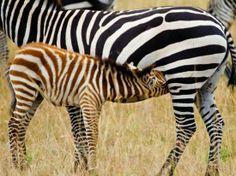 Baby Zebra feeding Africa Travel Diaries http://trevarontours.com/ #Africa #AfricanTravel #AfricaTravel #AfricaHolidays