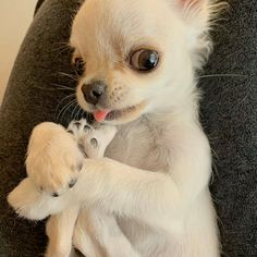 Chihuahua Puppies, Cute Puppies, Cute Dogs, Dogs And Puppies, Chihuahuas, Doggies, Cute Funny Animals, Cute Baby Animals, Puppy Face