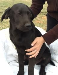 Rascal-URGENT is an adoptable Labrador Retriever Dog in Henrietta, TX. Six pups were apparently dumped near an area euthanizing facility and left to run down a highway and into a pasture. A kind perso...