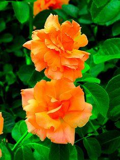 Roses, Longwood Gardens, Imagination IMG_3493 A