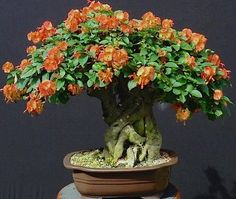 Look at these Flowers. Bonsai Art, Bonsai Plants, Bonsai Garden, All Plants, Acer Palmatum, Bonsai Azalea, Bougainvillea Bonsai, Bonsai Styles, Ikebana