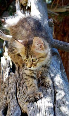 """""""pixie bob"""" cat^^ Mix beetween domestic cat and bobcat"""