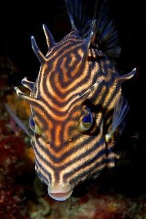 shaw's cowfish. I've never seen a cow with that pattern but it is rather plump and interesting looking.