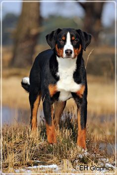 Ace Appenzeller Sennenhond Pawshake Kapellen Entlebucher Mountain Dog Dog Breeds Dogs