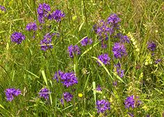 Ciucure (Campanula glomerata) Flowers, Plants, Plant, Royal Icing Flowers, Flower, Florals, Floral, Planets, Blossoms
