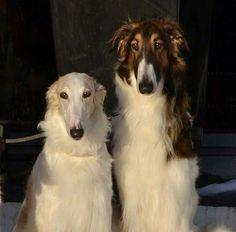 Borzoi Dog, Whippet, Russian Wolfhound, Scottish Deerhound, Italian Greyhound, Greyhounds, Beautiful Dogs, Livestock, Doggies