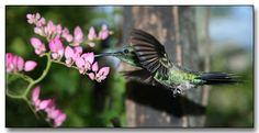 Paraguay humming bird