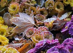Frosty fall  Leaves and flowers are covered with ice crystals in Dresden, Germany, on Oct. 29.