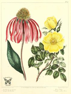 Purple coneflower (Echinacea purpurea), and Single yellow rose (Rosa lutea), The new botanic garden Botanical Flowers, Botanical Prints, Botanical Gardens, Illustration Blume, Botanical Illustration, Orchid Tree, Botanical Drawings, Flowers Perennials, Medicinal Plants
