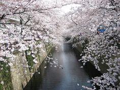 Japan during Cherry Blossom Season
