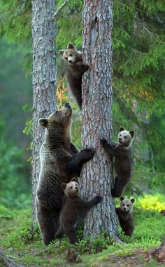 Brown bear family.