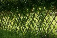 Live willow fence