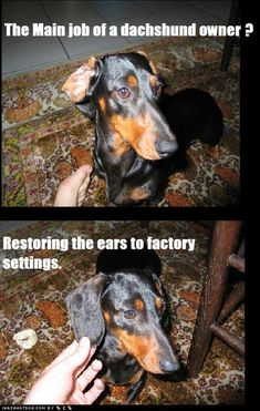 The Main Job of Dachshund Owners! My dog is part Dachshund but I never have to fix his ears; I guess that makes him Doxie we do this with our Beagle too ! Dachshund Funny, Dachshund Love, Funny Dogs, Cute Dogs, Funny Animals, Cute Animals, Daschund, Dachshund Facts, Dachshund Drawing