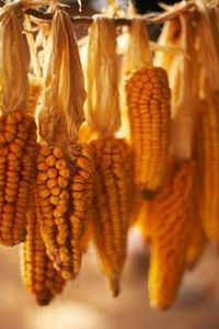 How to Make Corn Flour out of Corn Kernels