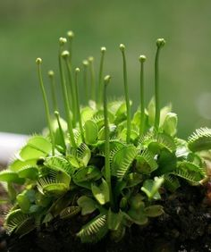 Venus Fly Trap.  We had these when the boys were younger and I swatted flies, stuck them with a toothpick, and then fed them to the plant!!! EWWWW nk