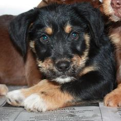 Petango.com – Meet Seminole, a 2 months 1 day Terrier / Mix available for adoption in FORT WORTH, TX