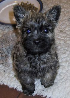 Home of Shearwater Cairn Terriers Home of Shearwater Cairn Terriers Source by deannabclark The post Home of Shearwater Cairn Terriers appeared first on SH Dogs. Pitbull Terrier, Carin Terrier Puppies, Norwich Terrier Puppy, Cairn Terriers, Scottish Terriers, West Highland Terrier, Australian Shepherds, Rottweiler, Pit Dog