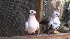 Fancy tumbler pigeons - timisoaras