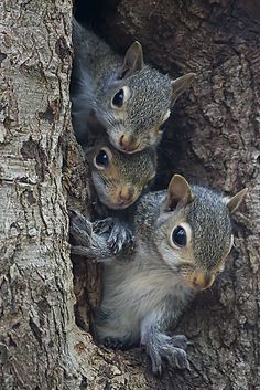 3 squirrels in a tree. He is the biggest squirrel because he eats all the bird seed. We now have a bird house with seeds for the birds and a bigger house we call the squirrel house with seed for the squirrels. Nature Animals, Animals And Pets, Baby Animals, Funny Animals, Cute Animals, Strange Animals, Wild Animals, Beautiful Creatures, Animals Beautiful