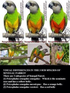 Senegal Parrot Subspecies