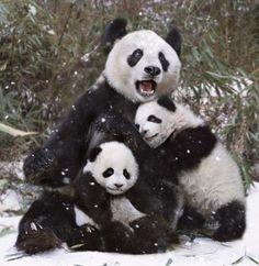 Giant Panda Cubs Playing My favorite animal - p...