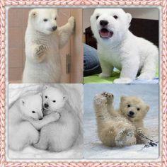 baby polar bears<3