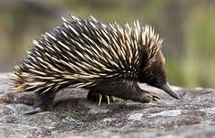 SHORT BEAKED ECHNIDA, AUSTRALIA — Photographed by PAVEL GERMAN @ Hedgehog House Photo Library