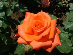 Folklore rose is a warm salmon with rich, golden orange reverse, slow opening, high centered blooms with deliciously fragrant and hardy fragrance. Free Photos, Free Images, Mushroom Plant, Fragrant Roses, Tree Mushrooms, Hybrid Tea Roses, Love Flowers, All The Colors, Photo Galleries