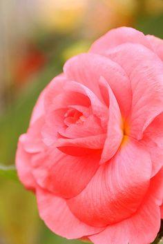 Blushing Begonia