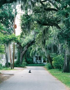 Beaufort, SC... I am in love with these trees. border collies, favorit place, dream travels3, florida, beaufort south, carolina photo, beaufort sc, south carolina, north carolina