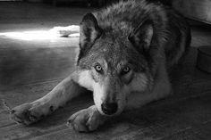Вытри слёзы, ведь волки не плачут, не к лицу им притворяться людьми