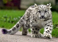 Snow Leopards are endangered. This is a gorgeous Snow Leopard cub. Thanks to INature (FB) Baby Snow Leopard, Leopard Cub, Leopard Kitten, White Leopard, Clouded Leopard, Big Cats, Crazy Cats, Cats And Kittens, Beautiful Cats