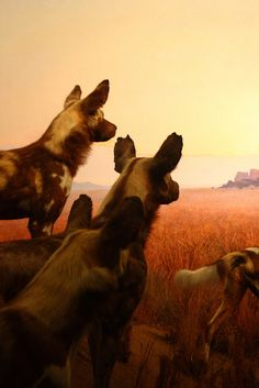 #African Wild Dogs  Like,Repin,Share, Thanks!