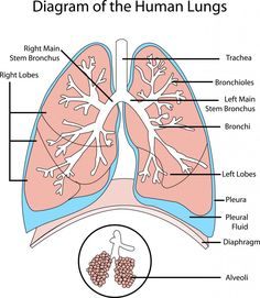 lungs diagram | How do we breathe? (Lungs and Pleura) | Interactive Biology, by Leslie ...