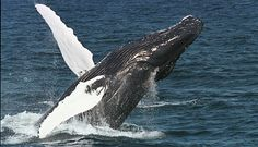 Whale Watching all year around in North Iceland. You can do Whale Watching in Dalvík, Húsavík the Whale Watching Capital of Iceland, Hauganes and Akureyri. North Iceland, Farm Holidays, Whale Watching Tours, Humpback Whale, Great Places, New England, Bucket, Boston Area, Happy Things